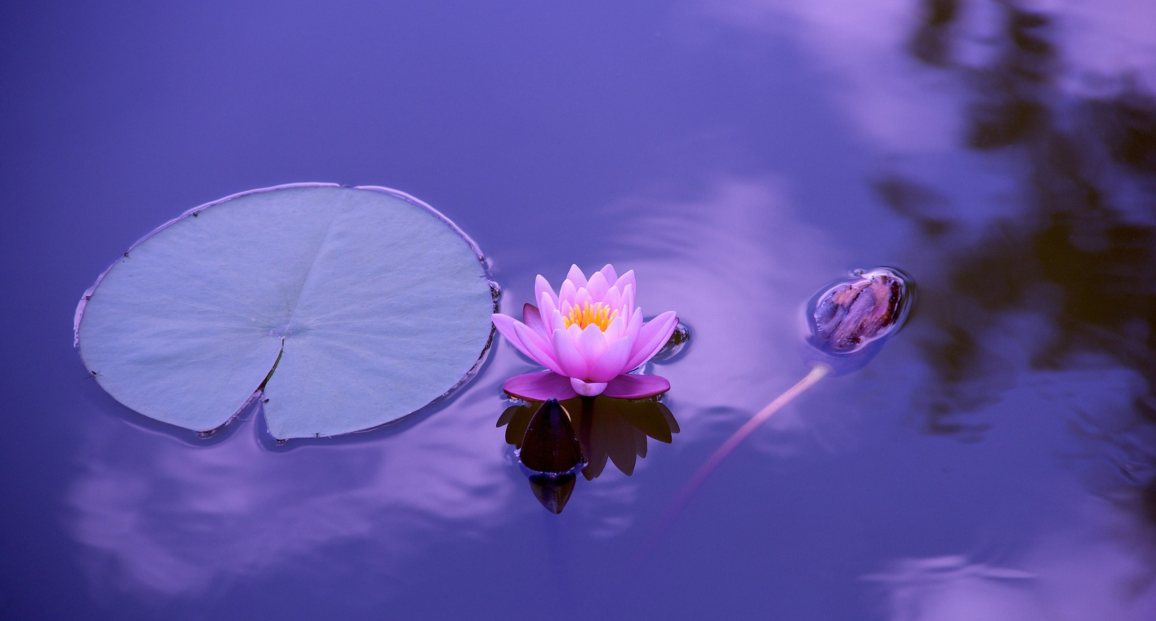 A lotus flower Gary Markwick Hypnotherapy, Hypno Healing, Past Life Regression and The Law of Attraction Workshops